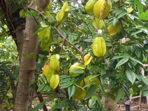仲里熱帯果樹園
