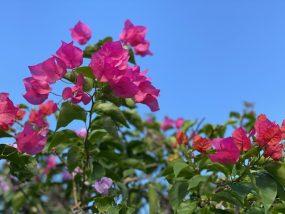 気分は南国♪熱帯植物のベランダ栽培をはじめよう